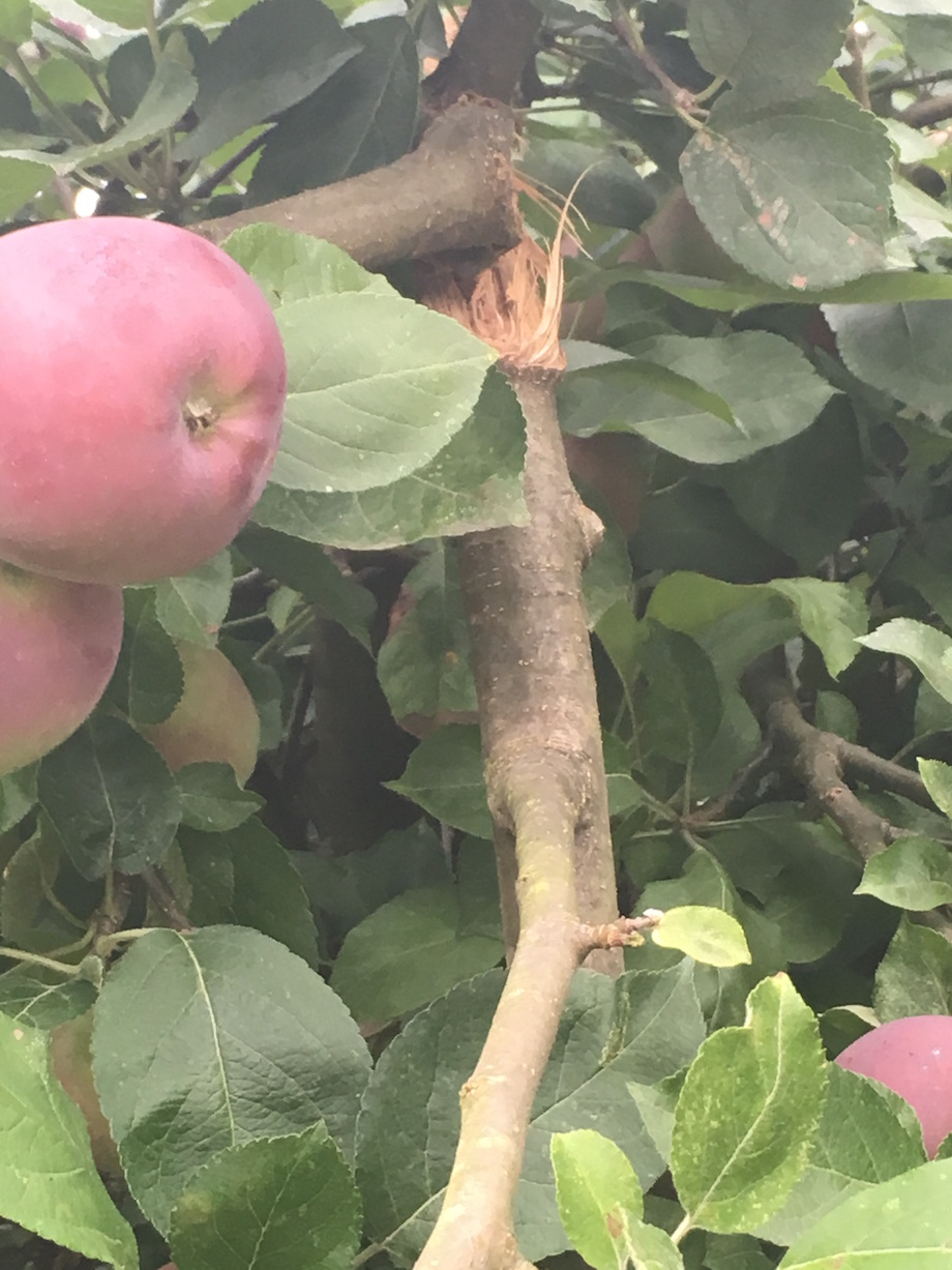 a broken apple branch caused by too much fruit