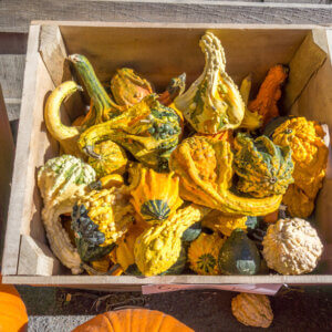 Bin full of gourds at a farm