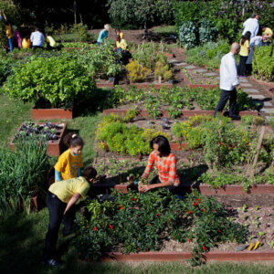 michelle obama harvests vegetables at the white house garden