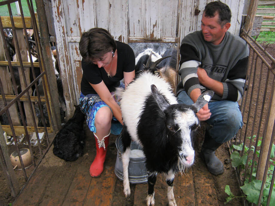 a couple milking a goat