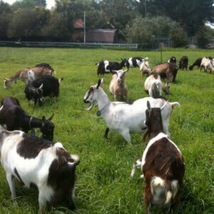 goats in a pasture
