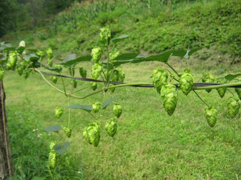 growing hops in north carolina - on the vine