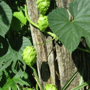 growing hops in north carolina - winding up a trellis
