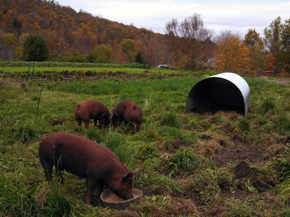 pigs eating and free ranging