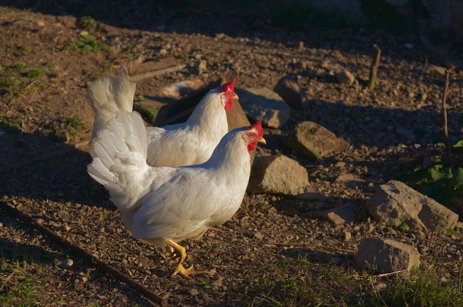 white leghorn hens