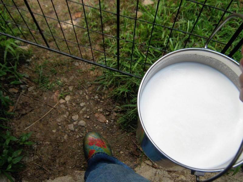 a pail of goal milk after milking