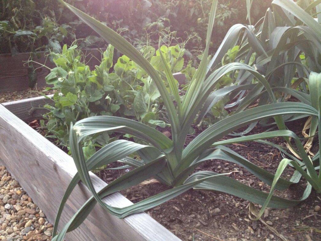 leeks growing in a garden