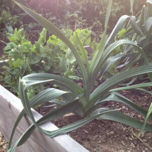 growing leeks in the garden