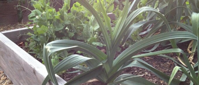 growing leeks in the garden