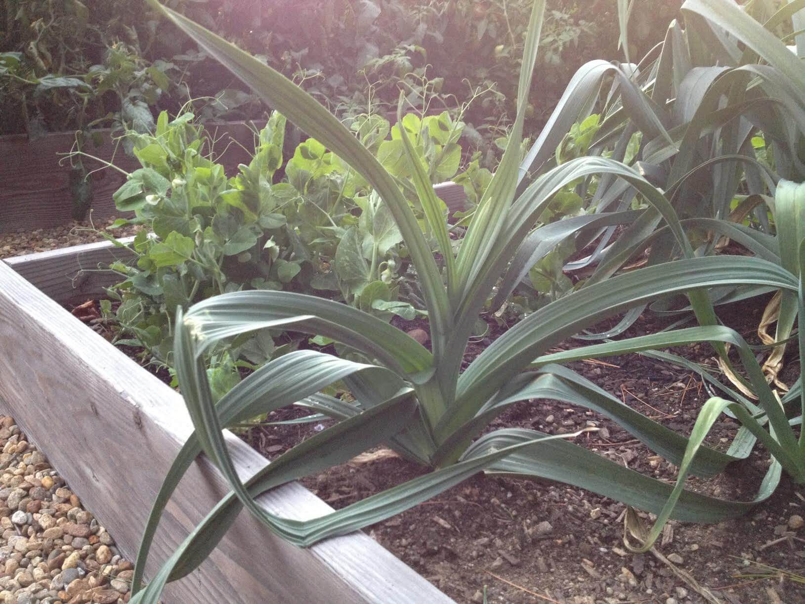 leeks growing in a garden