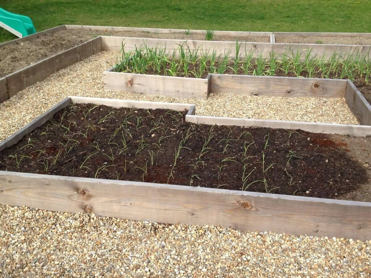 leeks growing in a raised garden bed after being transported from starts