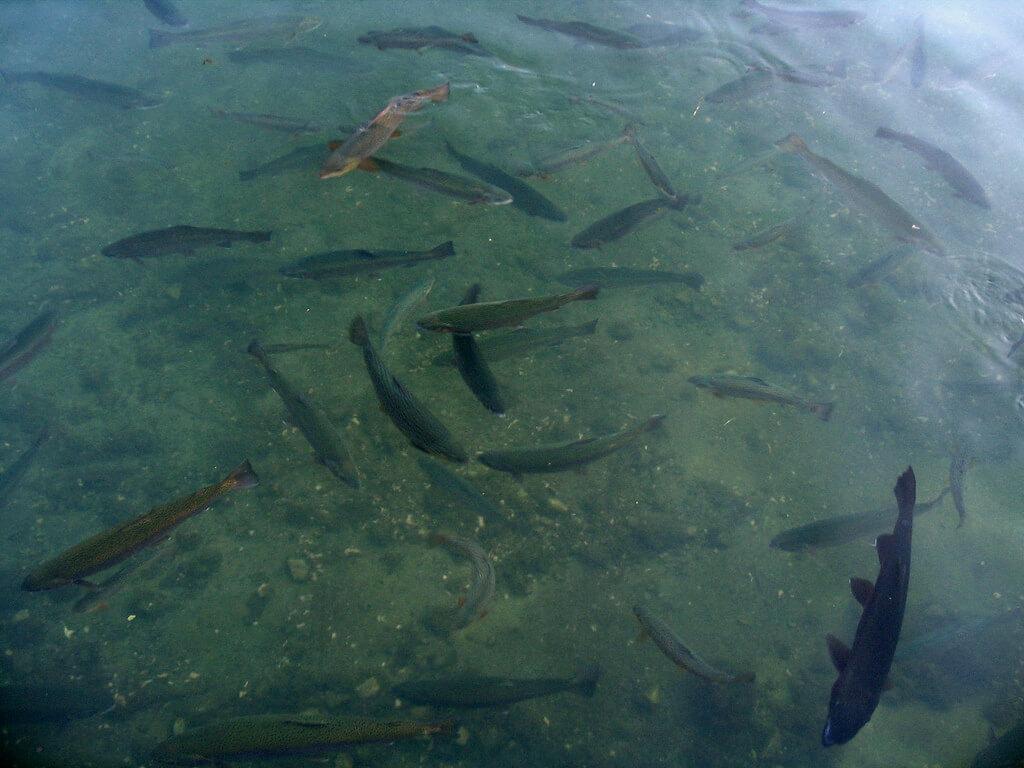 fish swimming in a fish farm