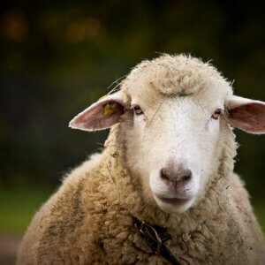 a sheep peers into your soul