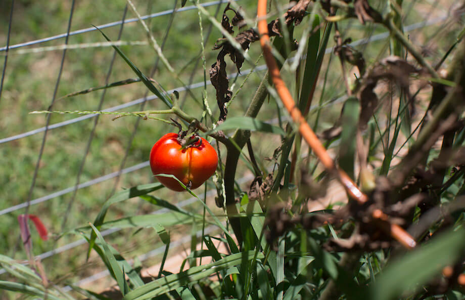 a ripe tomato ready for harvest in Meadowood's Edible Learning Garden.