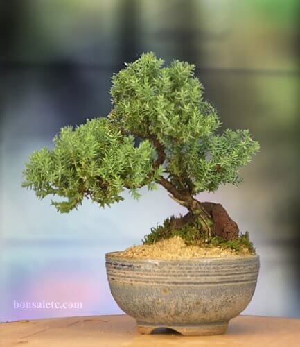 Nature's Highlight Juniper Bonsai Tree in Japanese Setku ...
