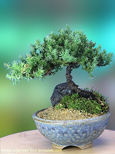 Nature S Highlight Juniper Bonsai Tree In Japanese Setku