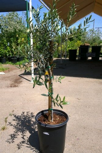 Arbequina fruit bearing olive tree insteading for Olive arbequina care