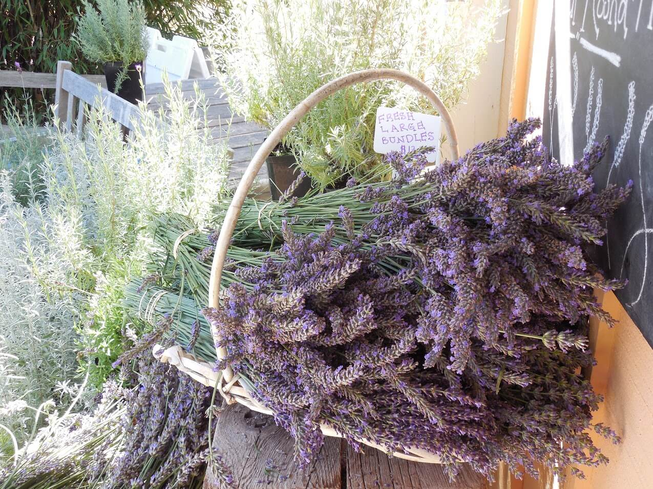 Companion Plants For Lavender Insteading
