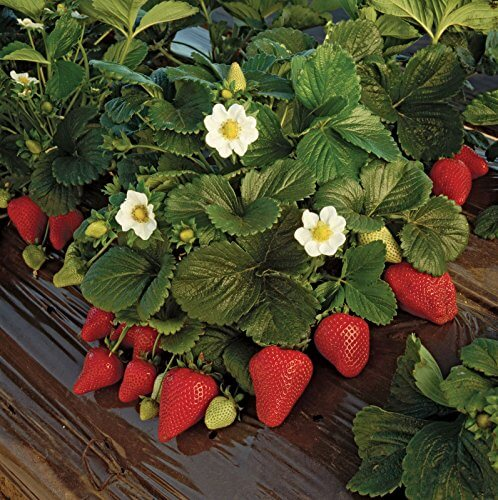 Earliglow Strawberry Plants O Insteading