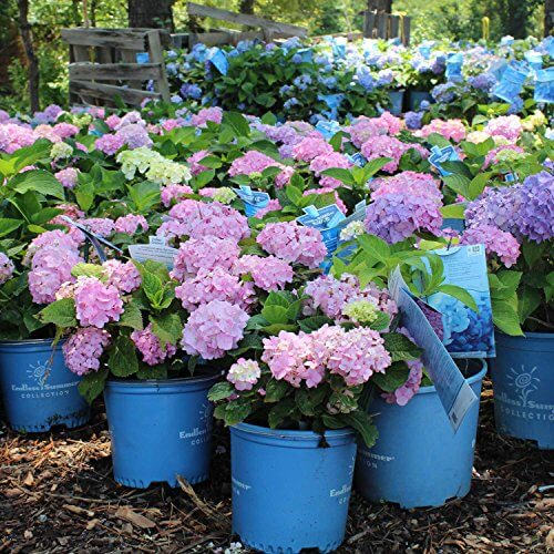 hydrangea endless summer endless summer hydrangea insteading 28837