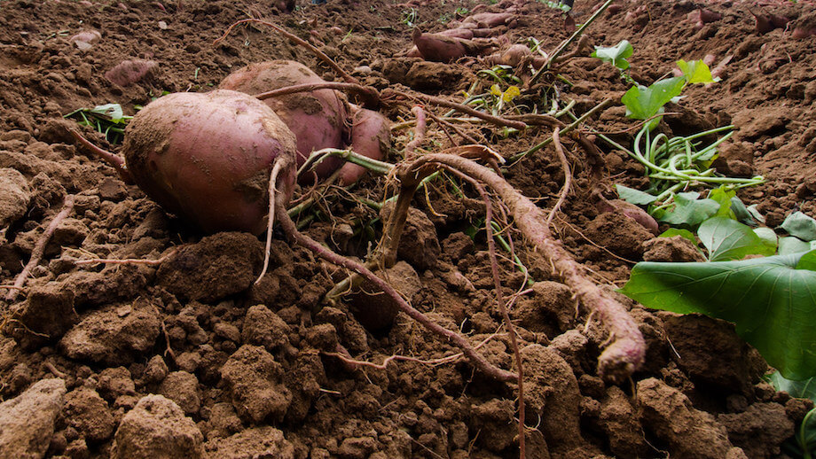 sweet potatoes looking very healthy and delicious since they are grown using crop rotation