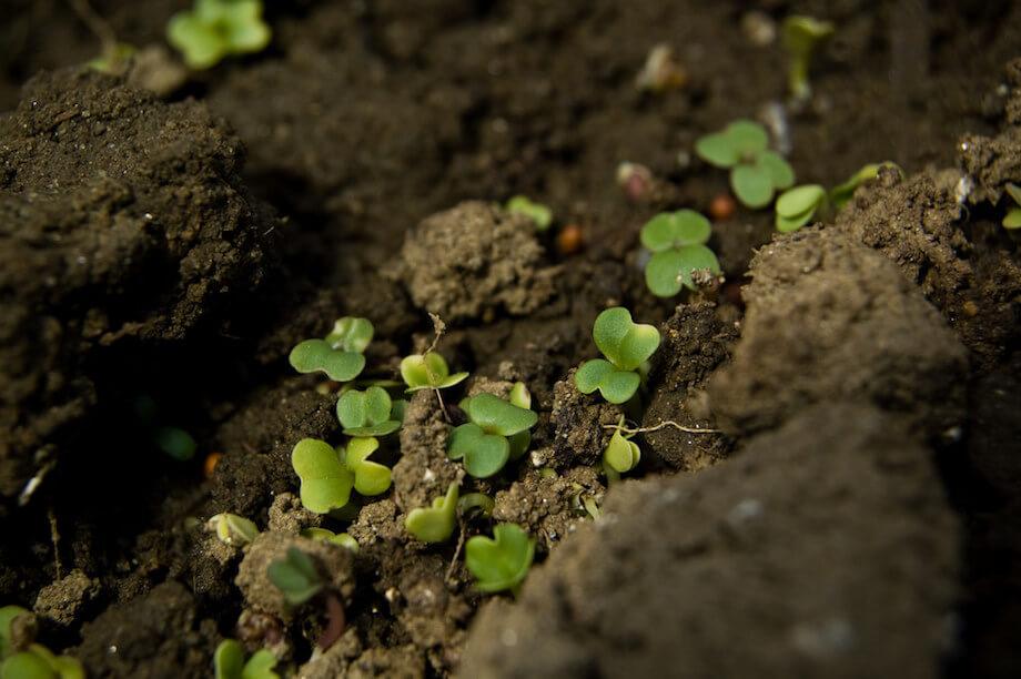 salad greens growing in fertile soil