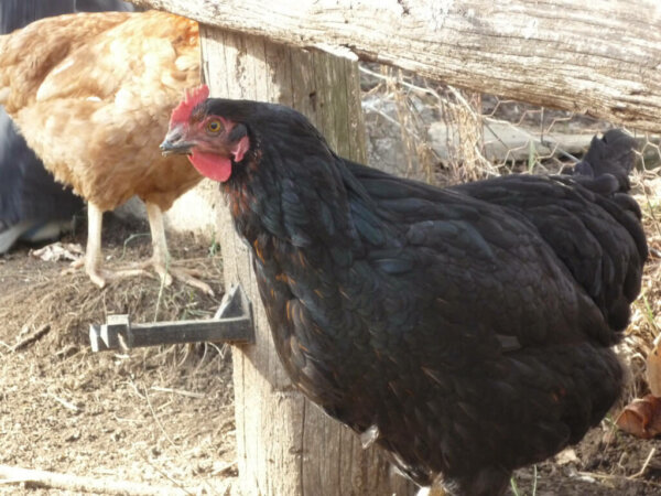 australorp chicken breed