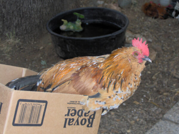 barbu d'uccle chicken breed