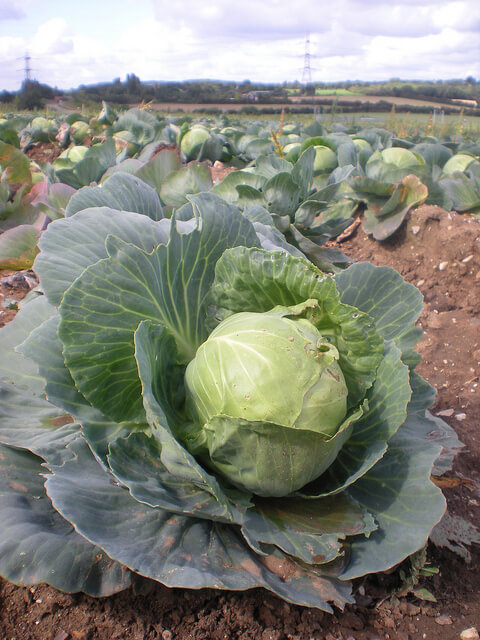 Companion Planting For Cabbage Insteading