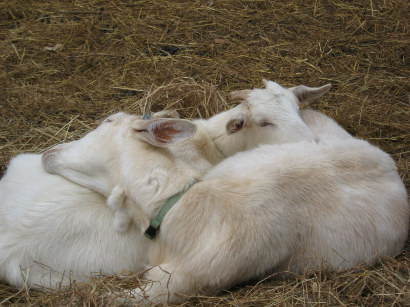 goats lying down at yancey fox farms