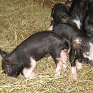 berkshire piglets resting