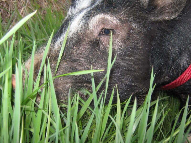 a close up picture of a berkshire pig