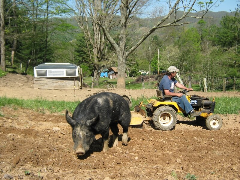 an adult berkshire pig in a dirt patch