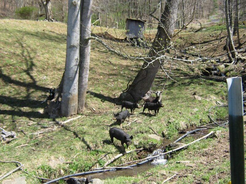berkshire pigs free range on Fox Farms in North Carolina