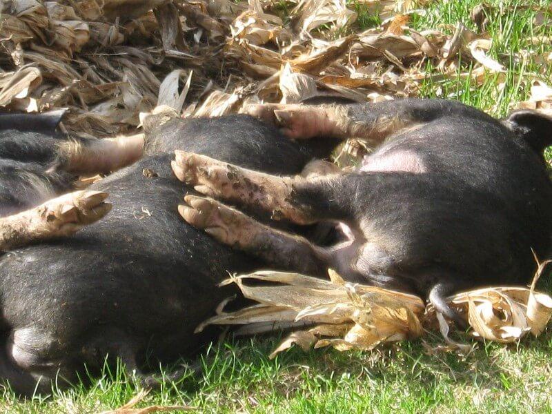 berkshire pigs lying down