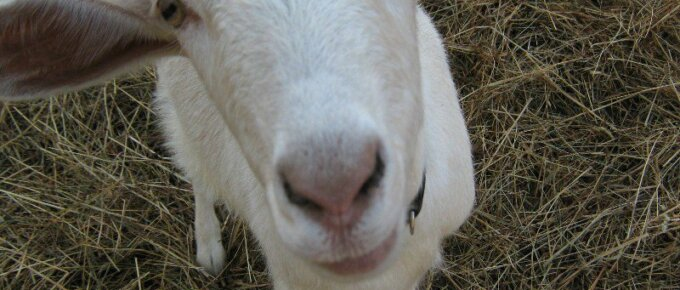 a goat poses for the cameral