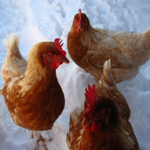 keeping chickens in winter