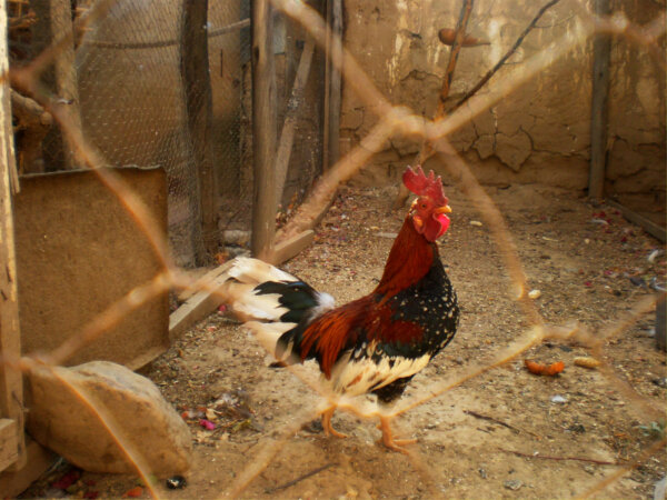 American Game Fowl • Insteading Chicken Breeds Guide