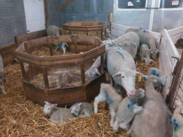 lambs in shed
