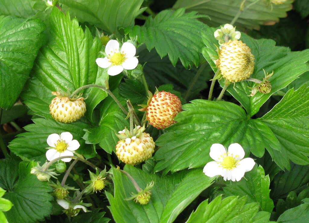 strawberries budding