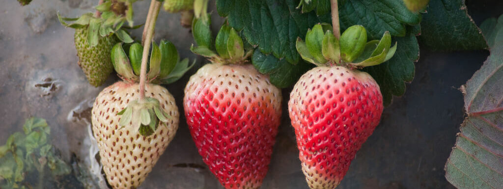 Companion Planting For Strawberries Insteading