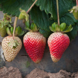 strawberries nearly ripe