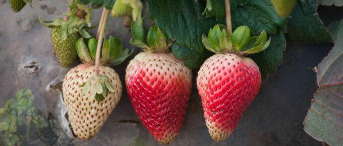 strawberries nearly ripe