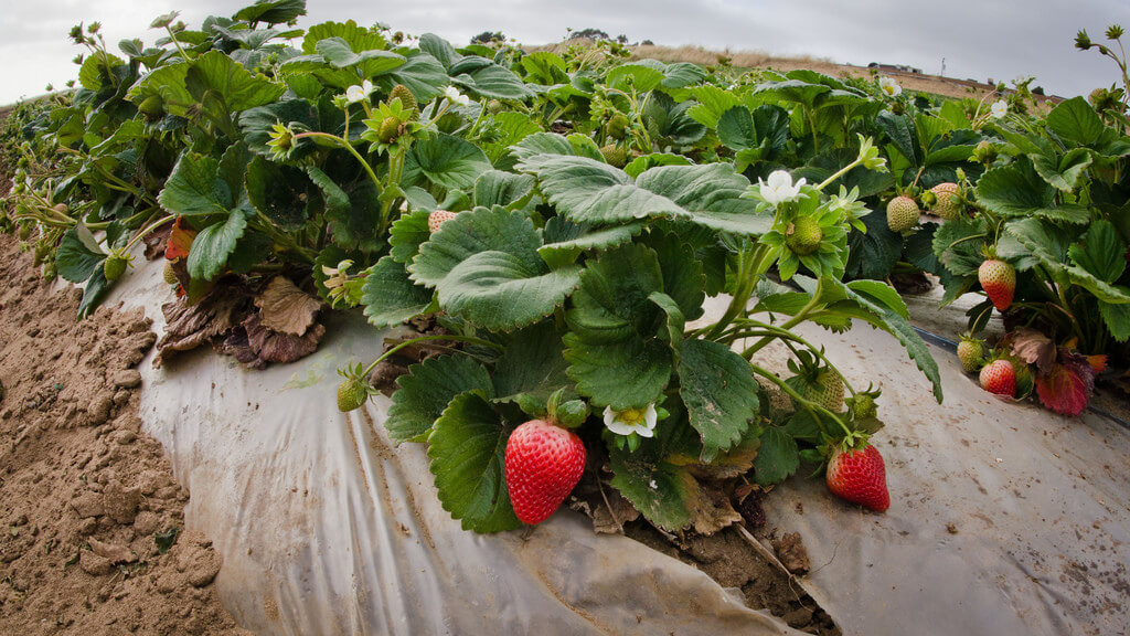 ripening strawberries in rows