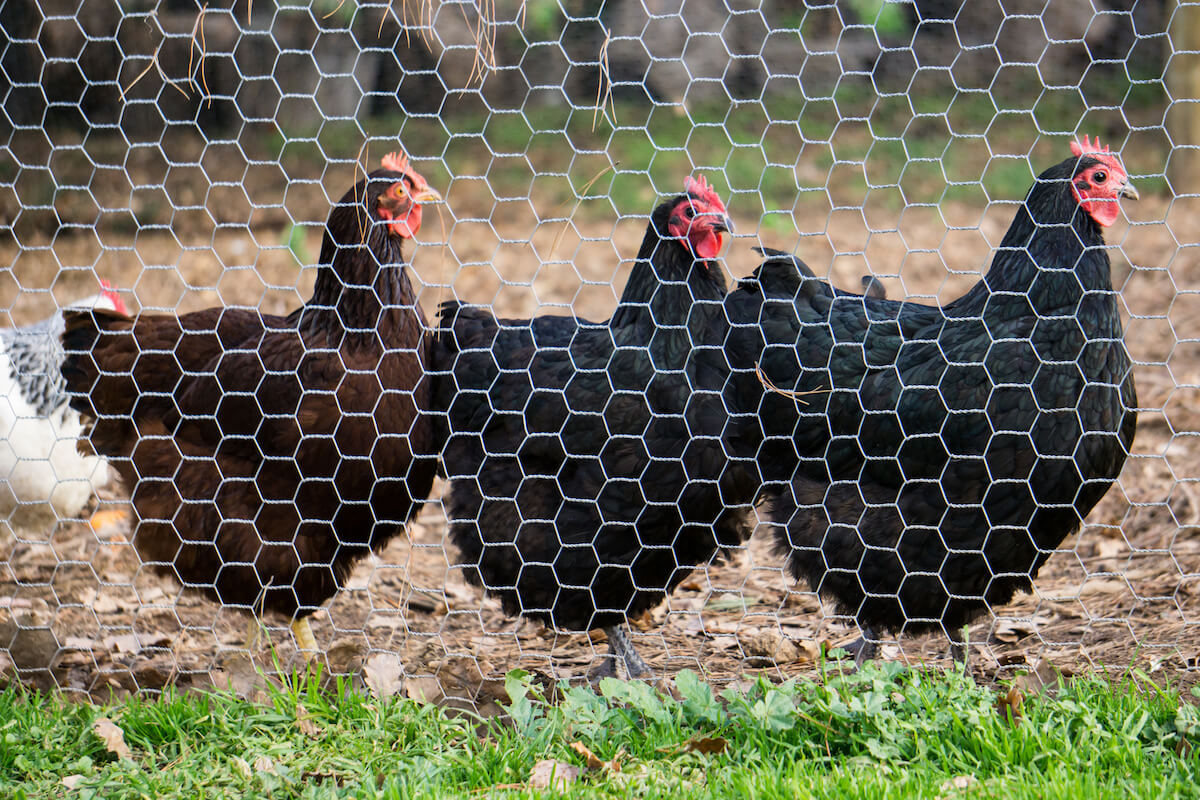chickens behind a fence