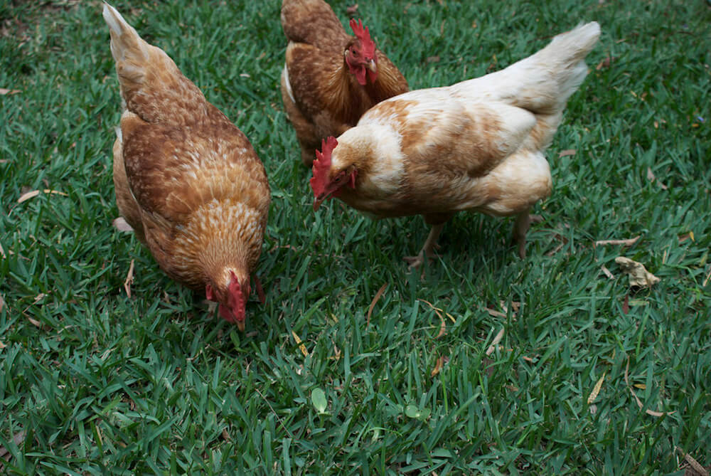 Best Chicken Breeds For City Living • Insteading