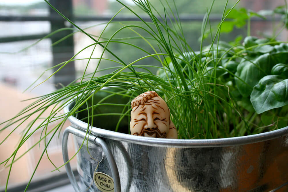 chives growing indoors