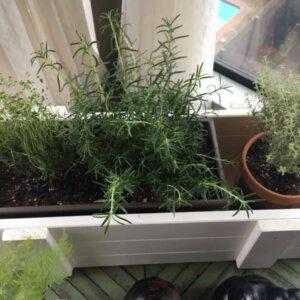 thyme rosemary indoor herb garden