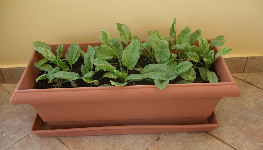 spinach growing indoors