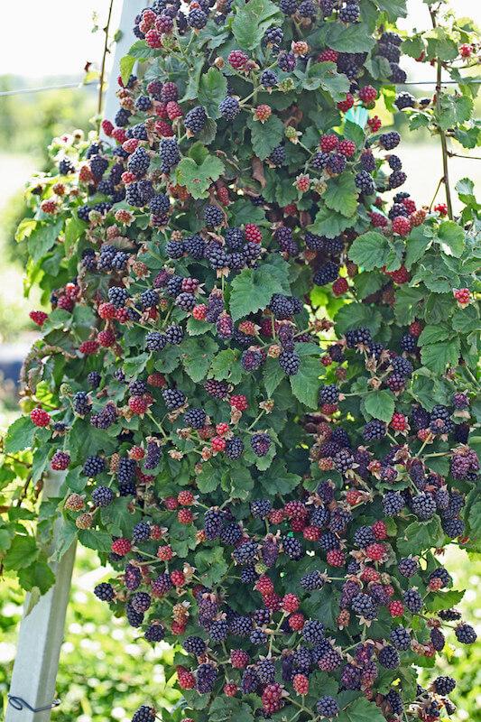 blackberries on trellis